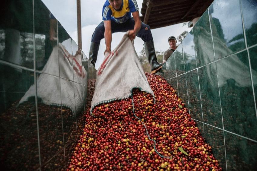 productor vierte cerezas de cafe en tanques