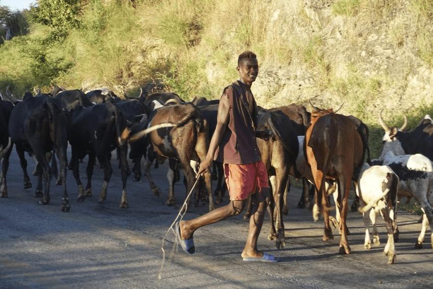 un joven ganadero lleva varios toros
