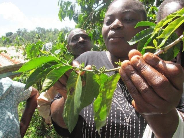 un productor de cafe keniano
