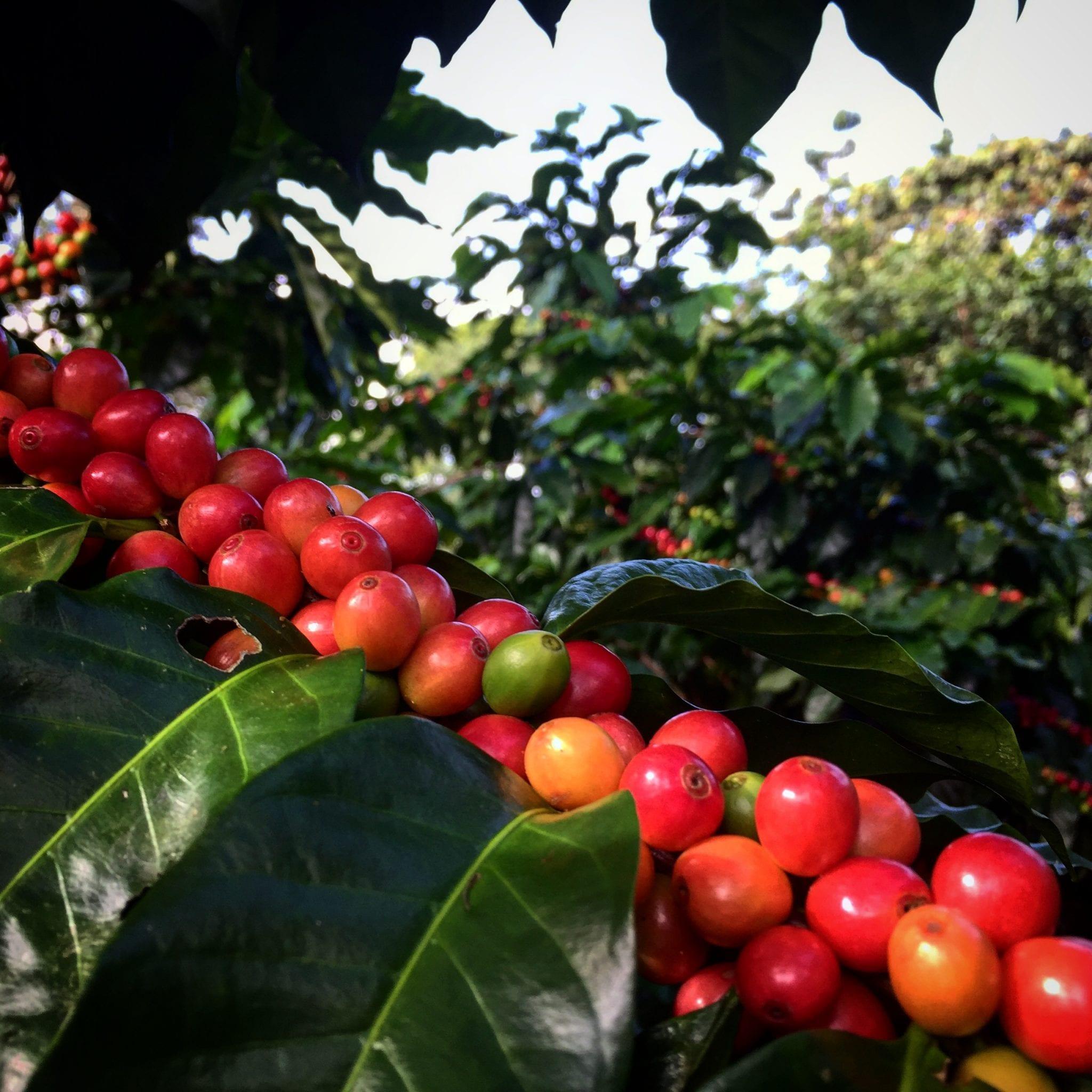 cerezas del cafe