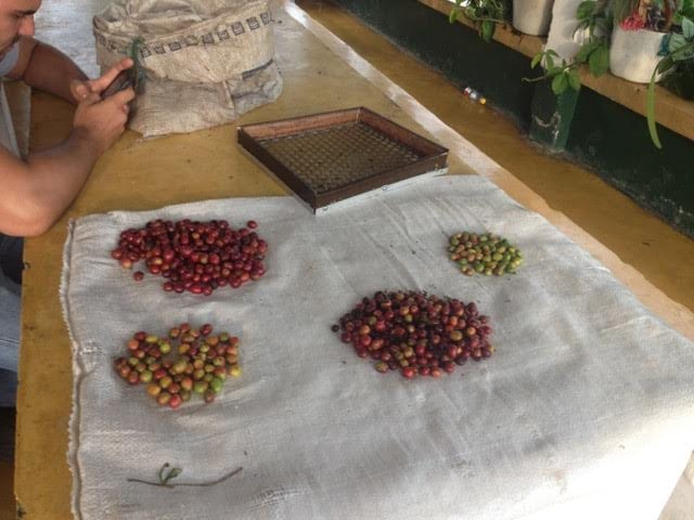 Picking coffee cherries in Colombia