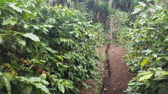 zanja en plantacion de cafe