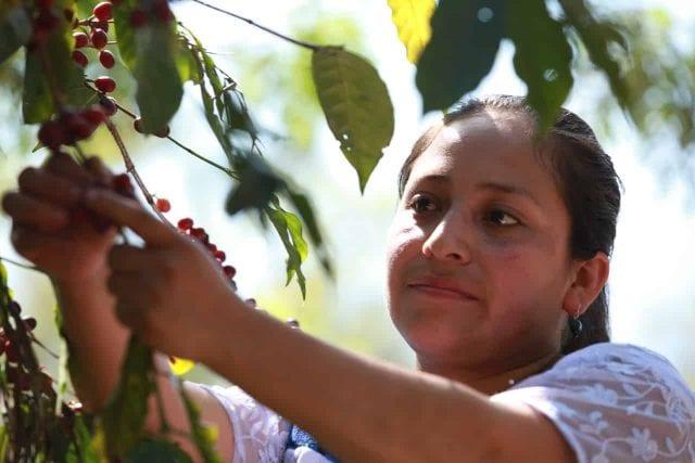 picking coffee cherries