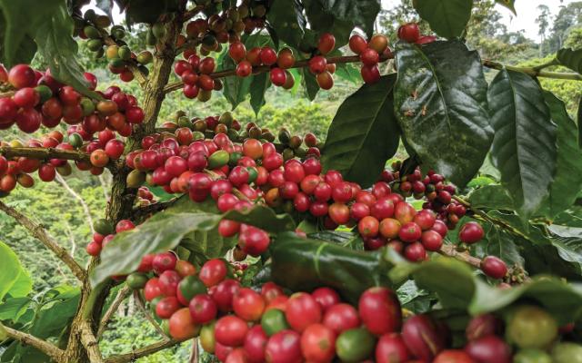 CAFE coffea arabica 25 semillas cultiva tu propio cafe de calidad