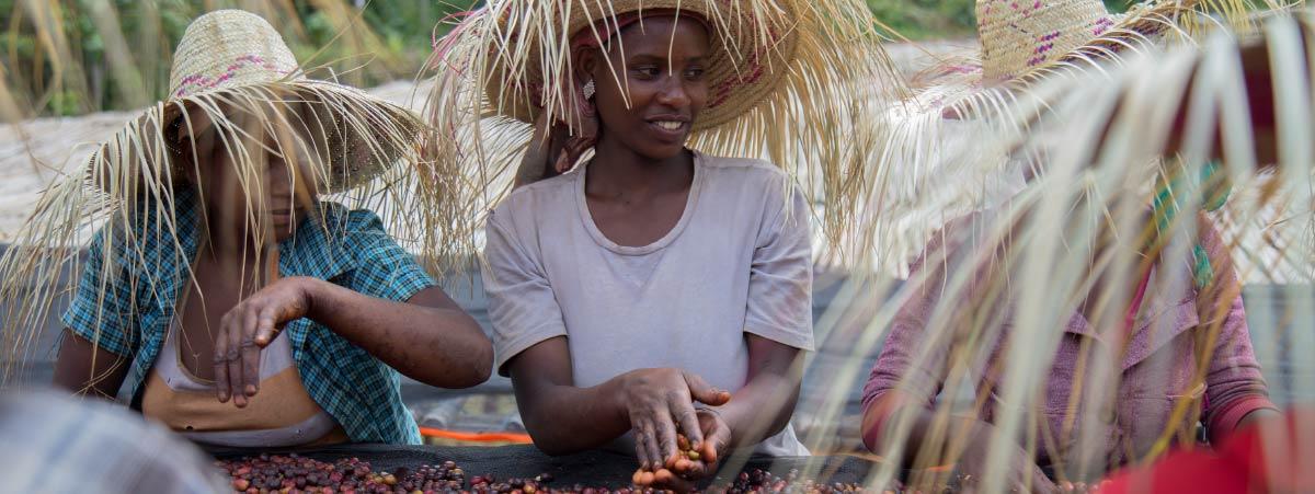 Mujeres etiopes seleccionando cerezas de café