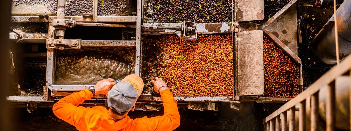 Proceso de lavado de cerezas de café