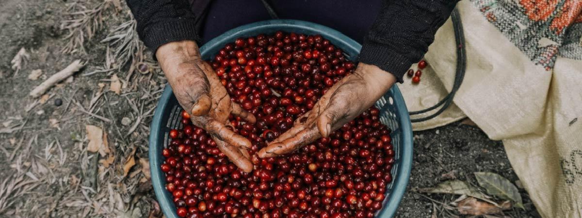 canasta con cerezas de café maduras