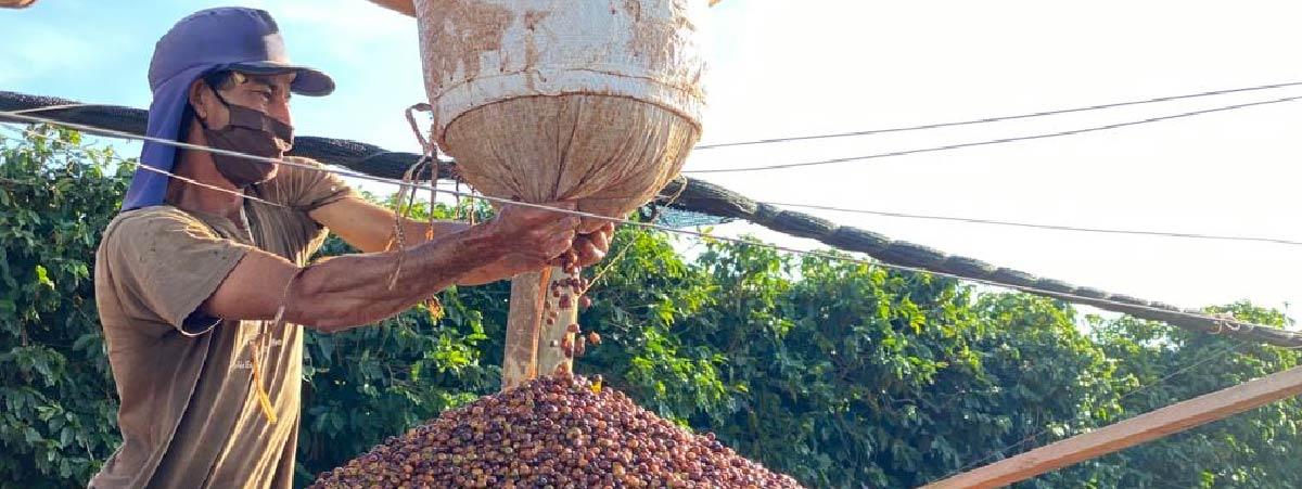 Despulpando cerezas de café