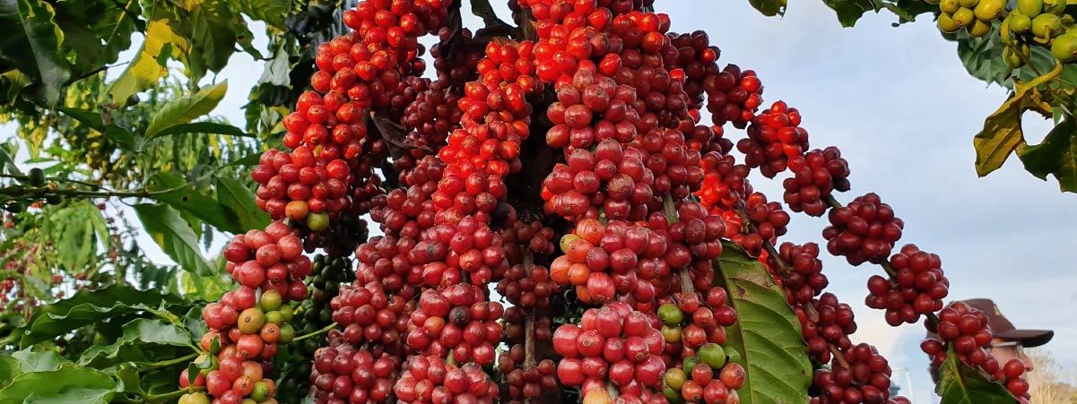Rama con cerezas de cafe maduras