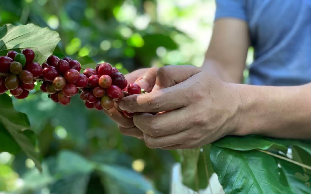 cosecha de café