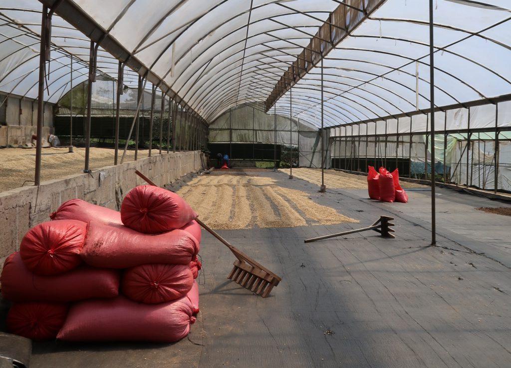 secando café para exportar