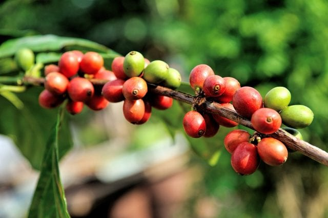 cerejas de café amadurecendo