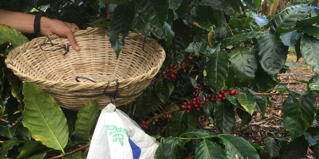 como melhorar a qualidade do café
