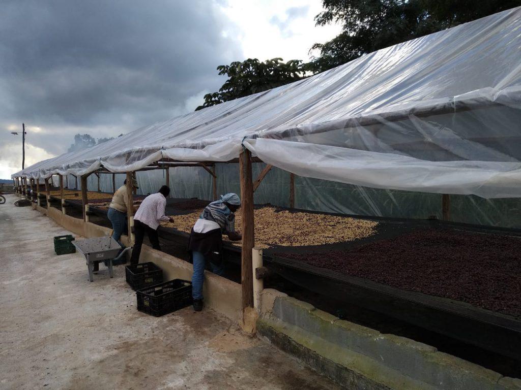 catando café no terreiro suspenso