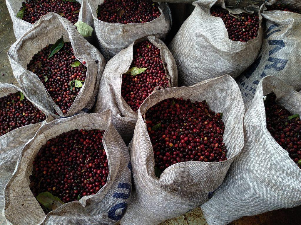 variedades de café raras