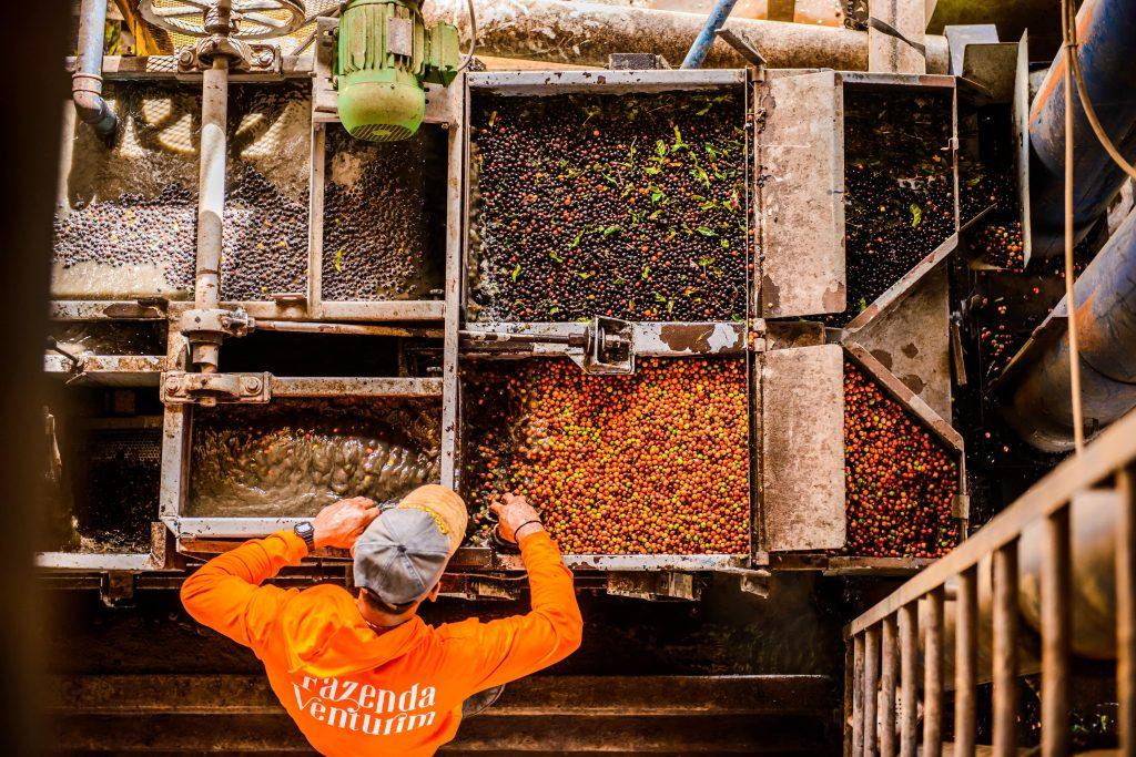 separação de frutos de cafe canephora