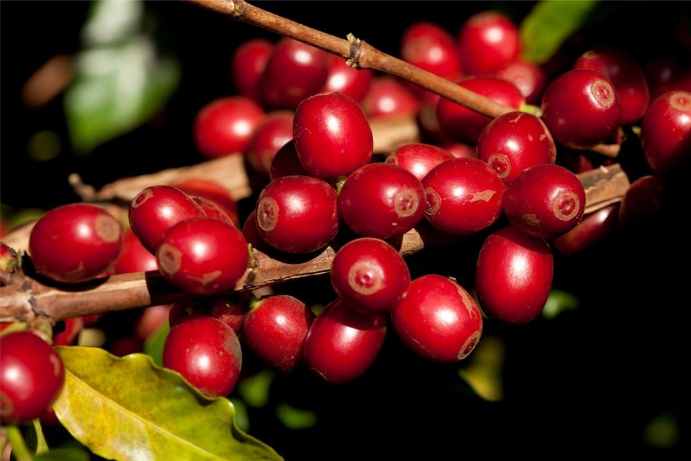 fruto maduro do cafe