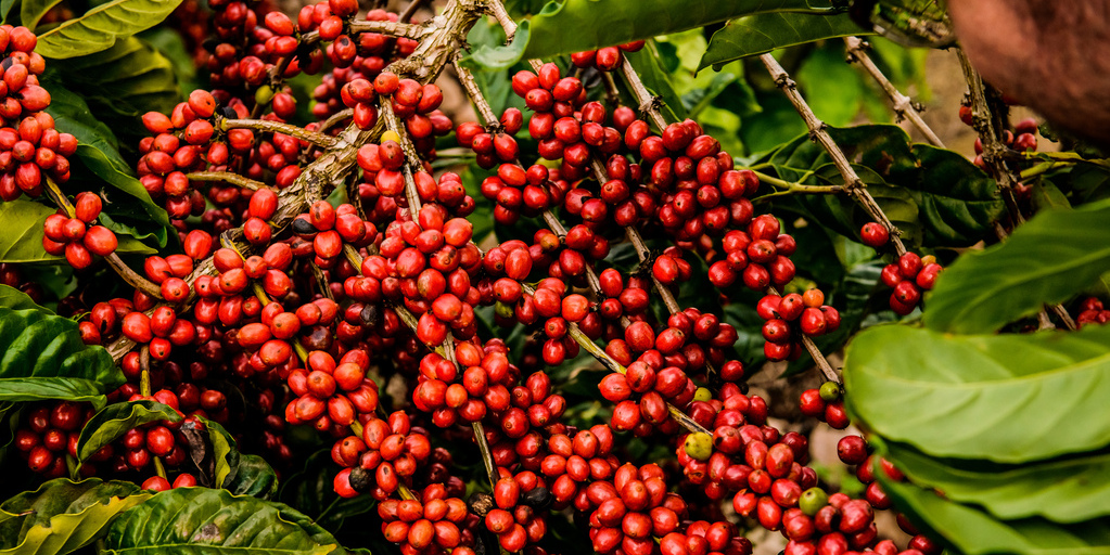café robusta Brasil