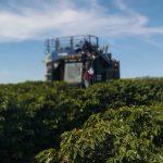 fazenda de café colheita
