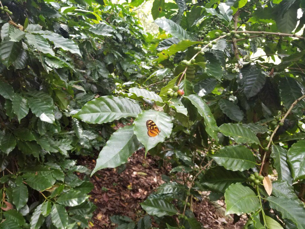 pé de café fazenda