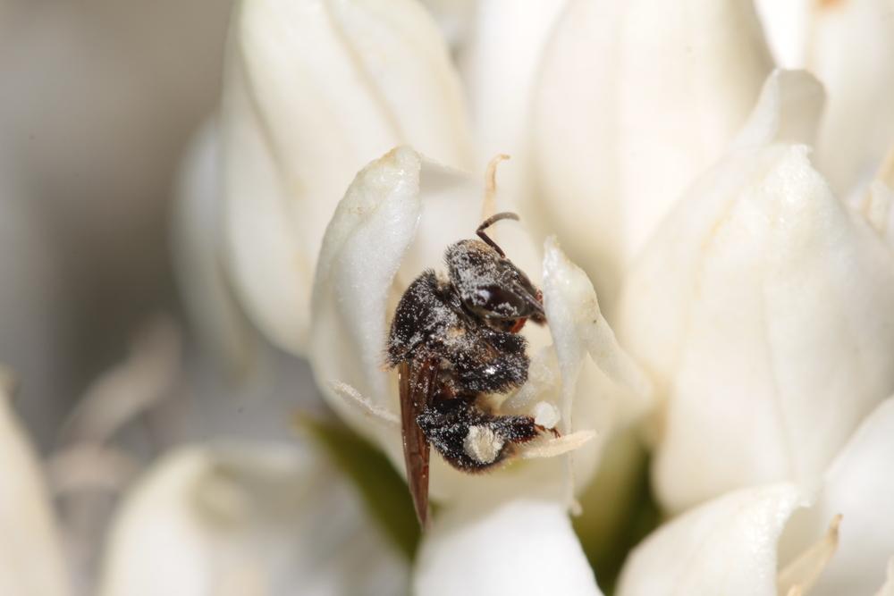 abelha Mandaguari em flor de café 1