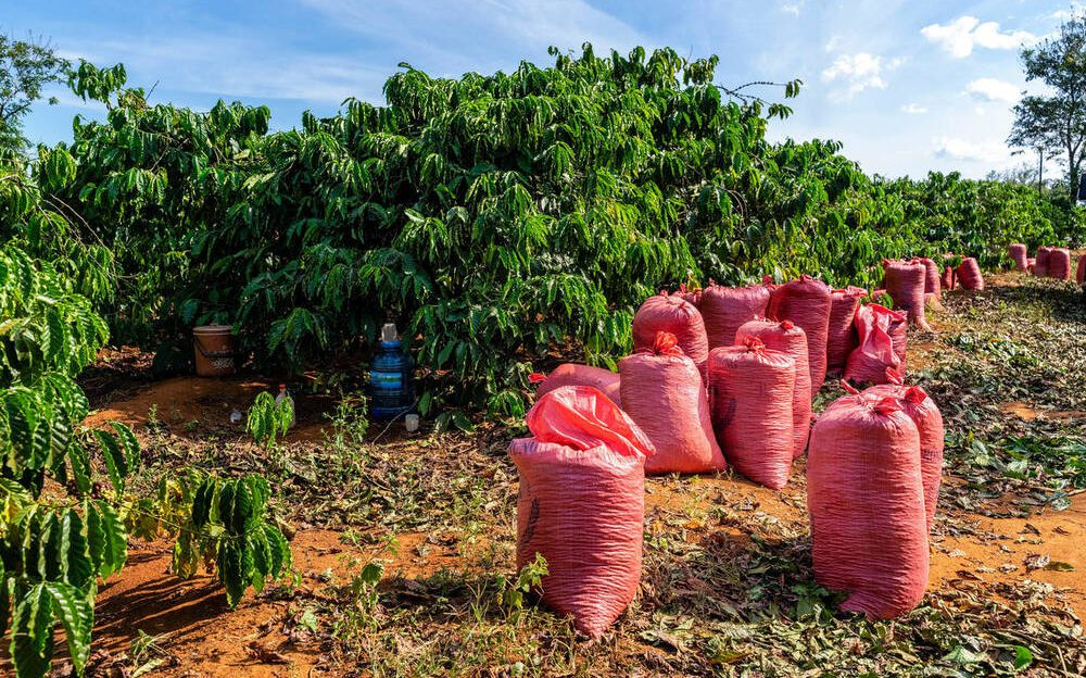 cultivo de arábica vietnã