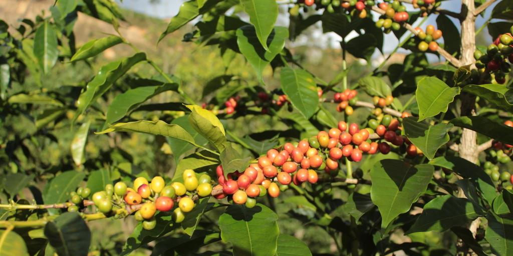 rastro de carbono do café
