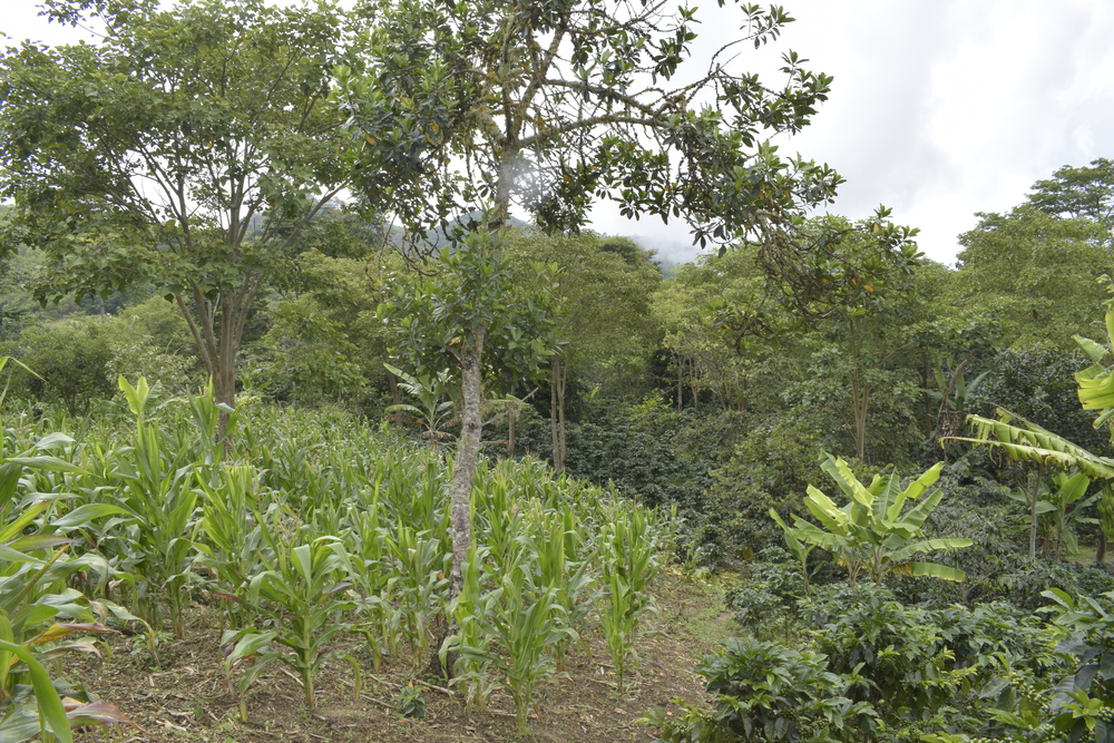 agrofloresta café