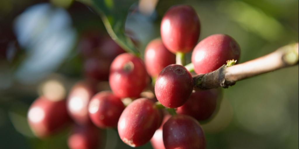cafés com baixo teor de cafeína