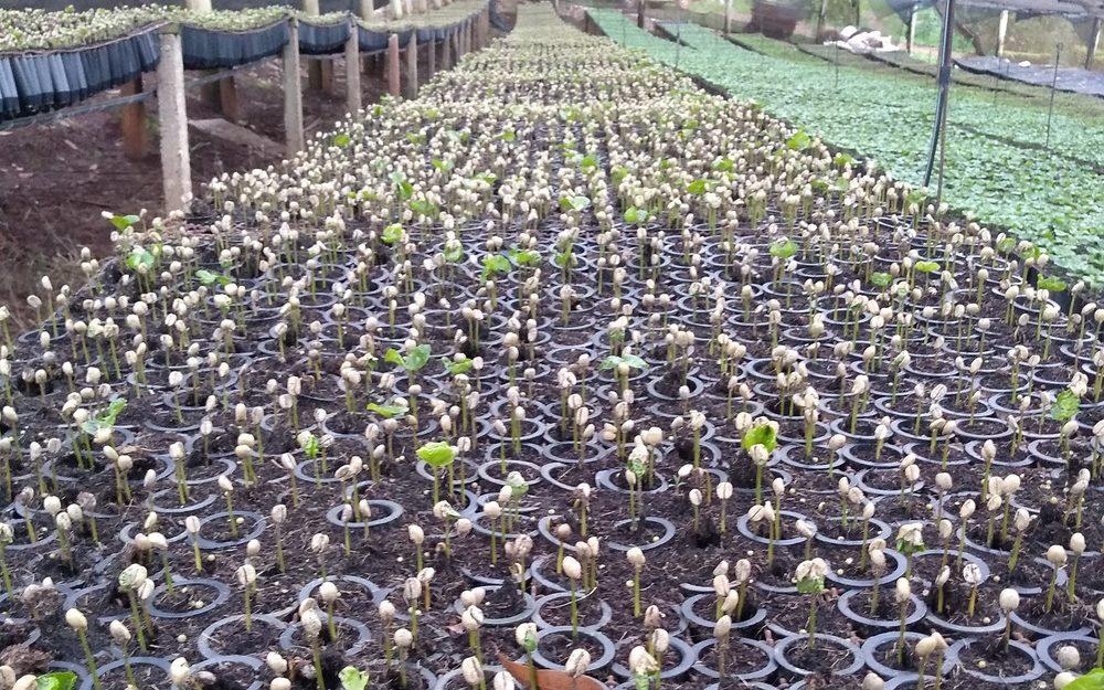 sementes de café