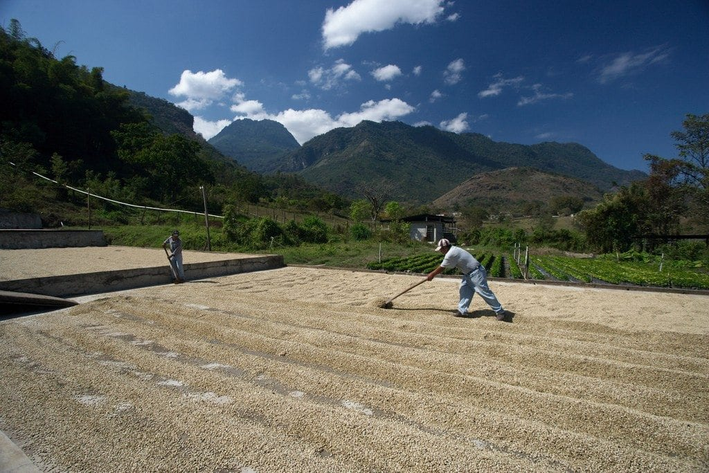 Drying patio for washed coffee.