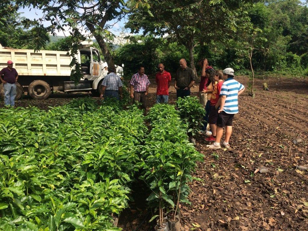 coffee plants in a guatemalan farm