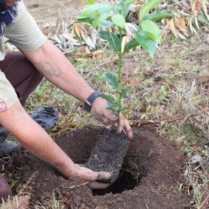 A man planting a coffee tree
