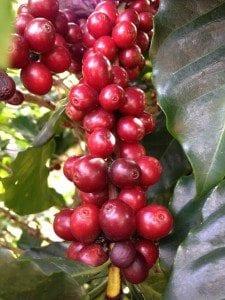 Red Catuai cherries