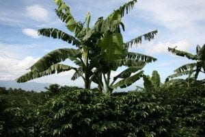 Banana plants with their large leaves