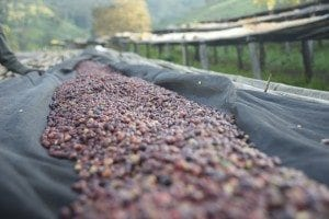 Coffee shown drying with cherry and mucilage