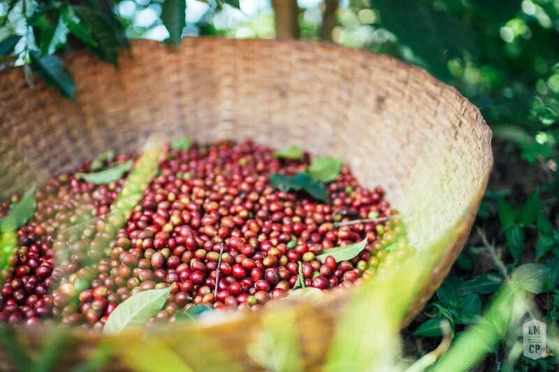 Hand-picked coffee cherries.