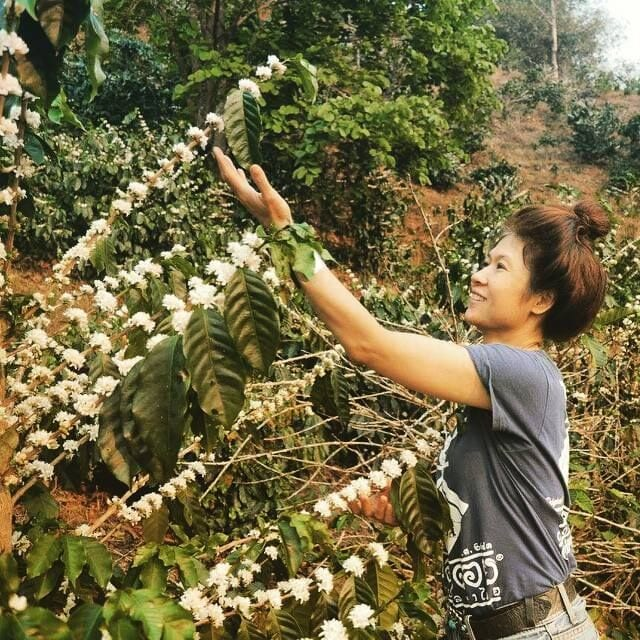 fresh jasmine-scented coffee blossoms