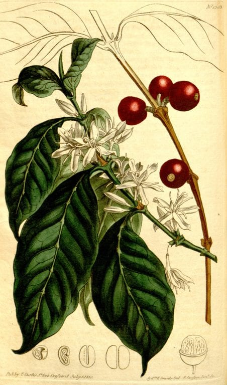 Coffee Plant Species: Arabica vs Specialty Robusta ...