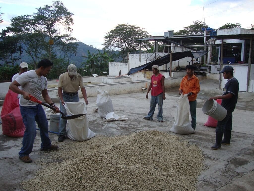 distributing coffee beans into sacks