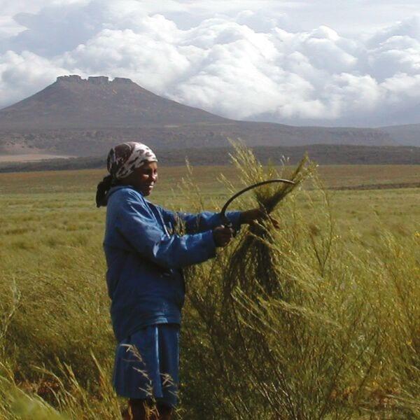 Harvesting Rooibos