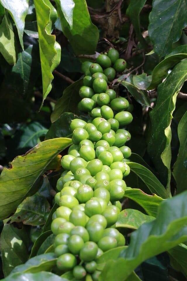 Coffee fruit after blossom season.