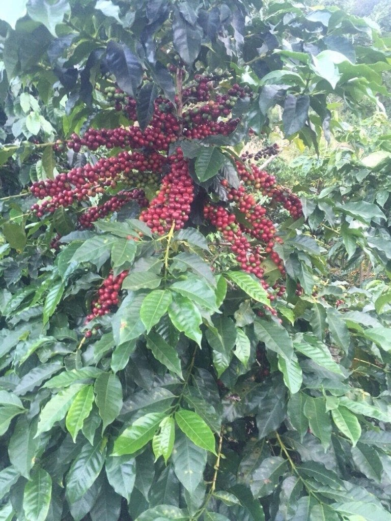 Red Bourbon Coffee cherries,