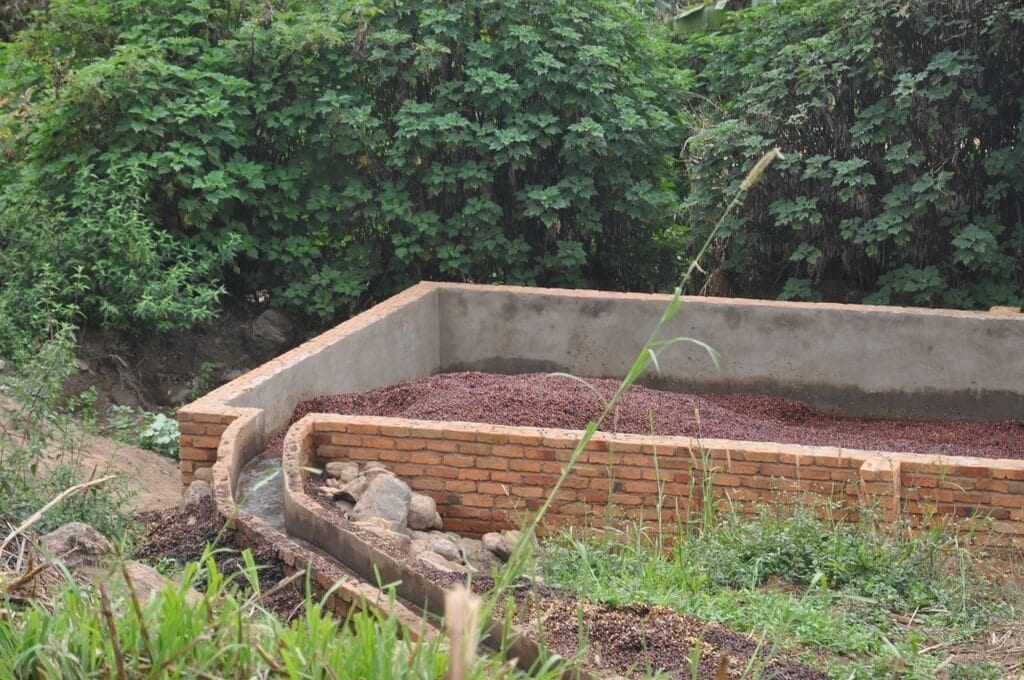 Coffee cherries being washed