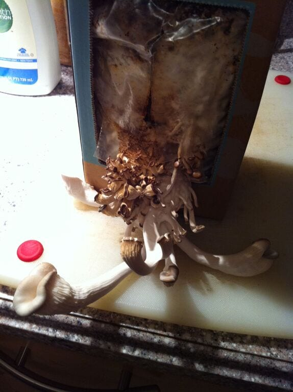 Mushrooms growing in a used coffee grounds kit