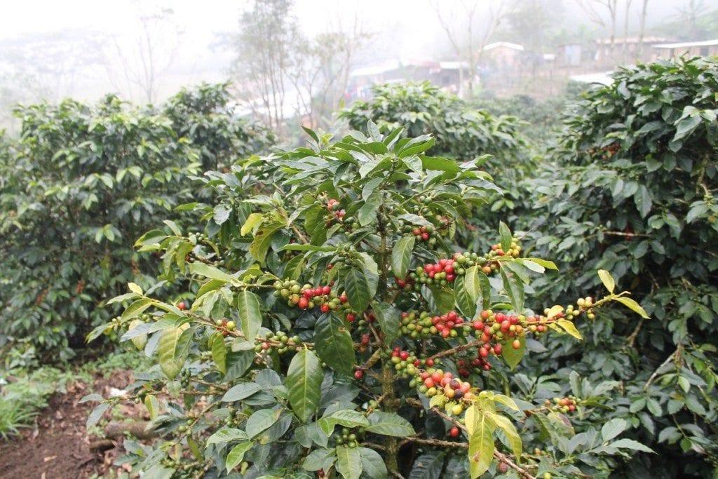 Pacas coffee variety