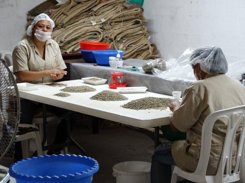 Hand selecting green coffee