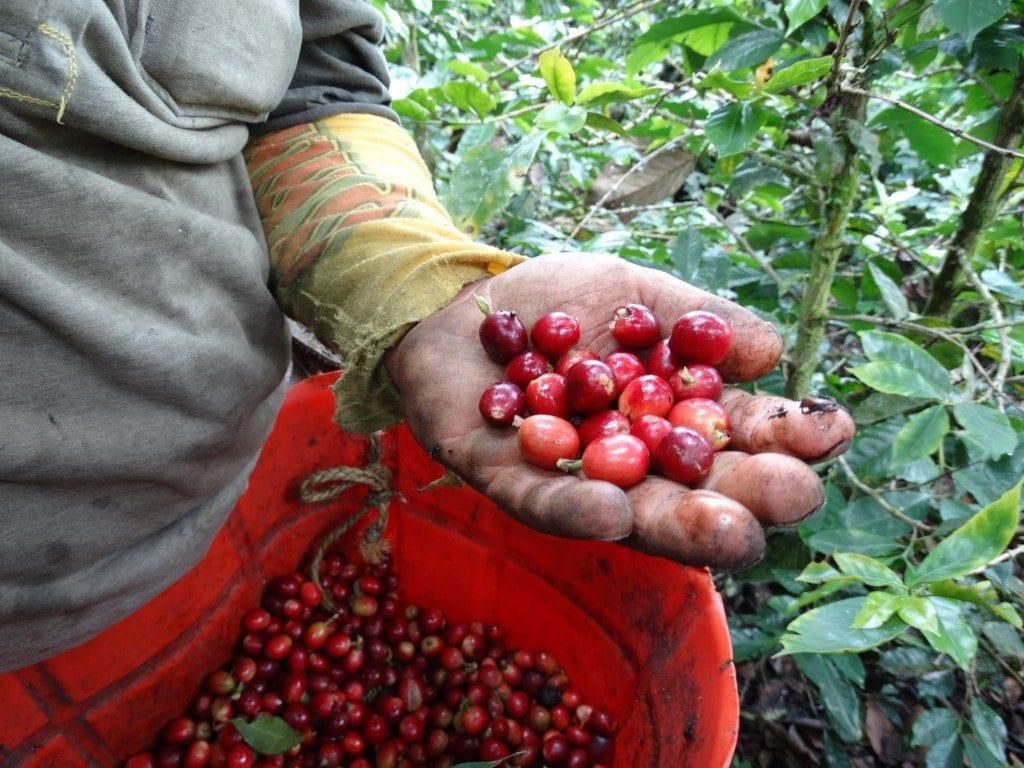 Ripe coffee cherries