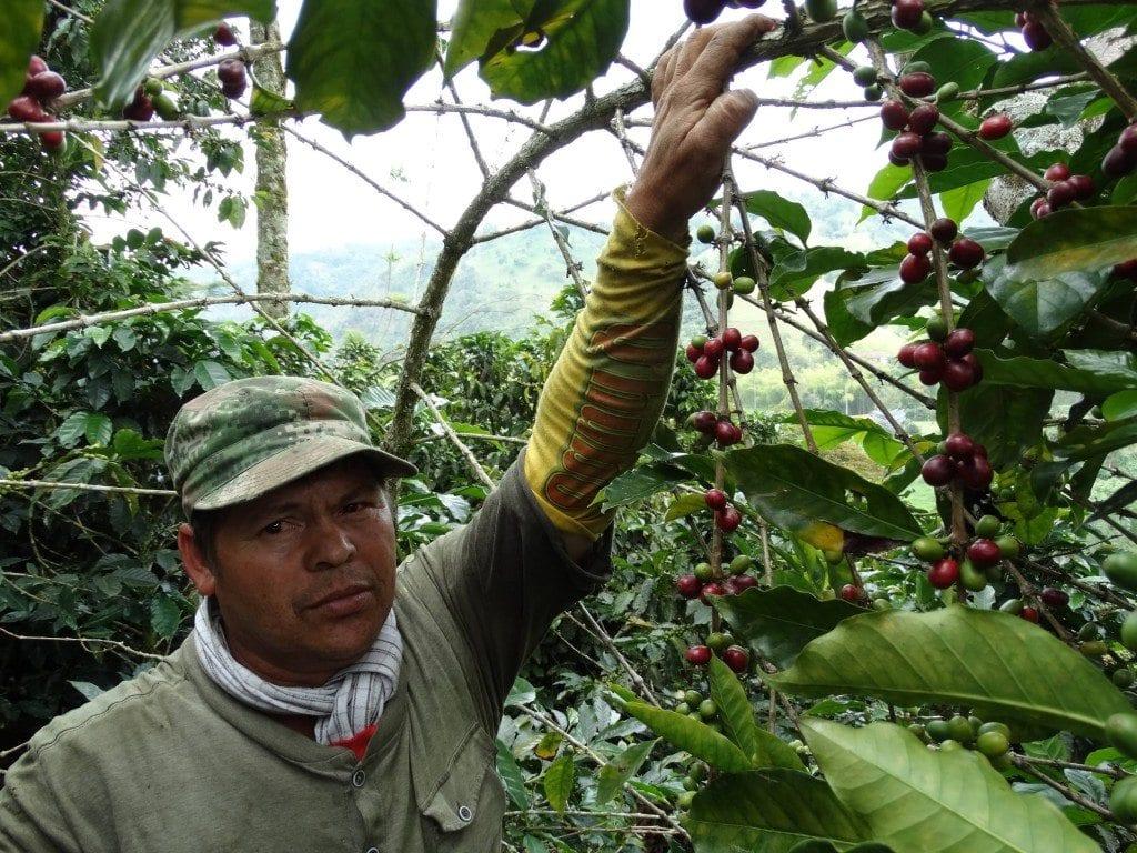 worker picking ripe coffee cherries