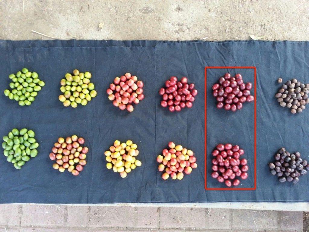 ripeness of coffee cherries